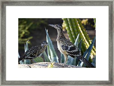 Roadrunners At Play  Framed Print by Saija  Lehtonen