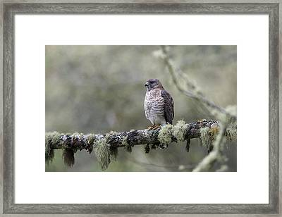 Roadside Hawk Perched On A Lichen-covered Branch 2 Framed Print