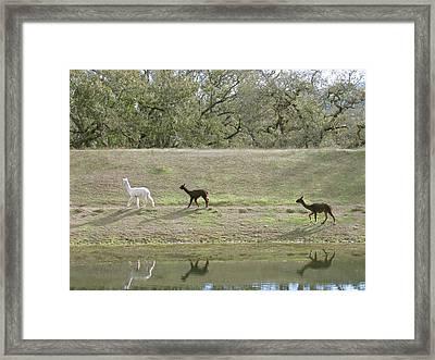 Roaming Alpacas Framed Print