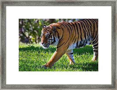 Roaming Tiger Framed Print
