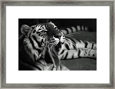 Roar Of The Tiger Framed Print