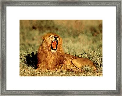 Roaring Lion Tanzania Africa Framed Print by Panoramic Images