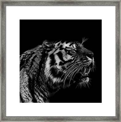 Roaring Tiger Framed Print by Martin Newman
