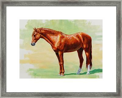 Roasting Chestnut - Morgan Horse Framed Print by Crista Forest