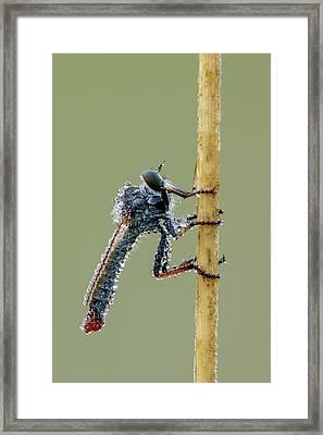 Robber Fly Framed Print by Heath Mcdonald