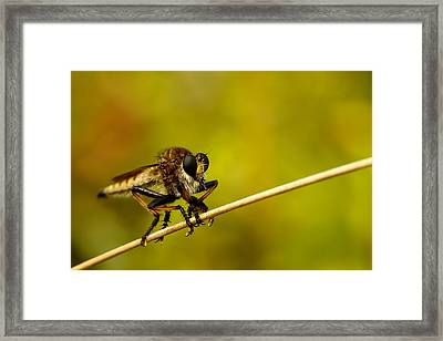 Robber Fly Framed Print by Shane Holsclaw