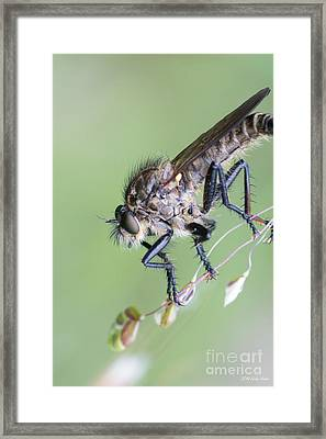 Robber Fly Asilinae Close Up Framed Print by Jivko Nakev