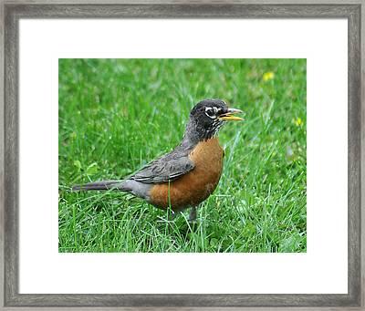 Robin 334 Framed Print