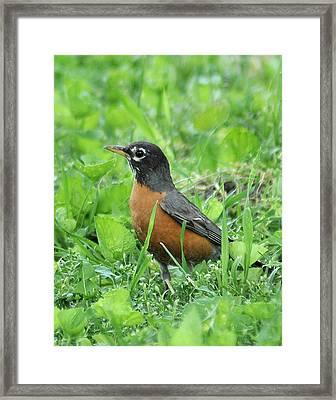 Robin 370 Framed Print
