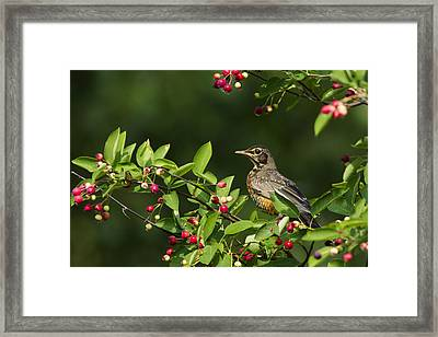 Robin And Berries Framed Print by Mircea Costina Photography