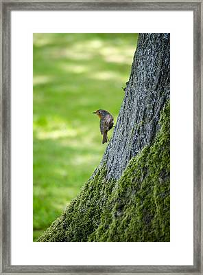 Robin At Rest Framed Print