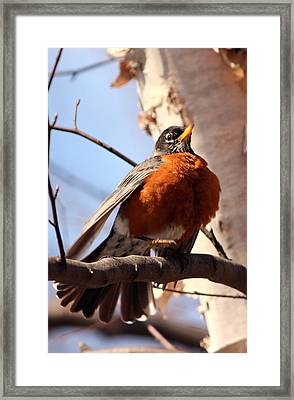 Robin Bird Framed Print by Diane Rada