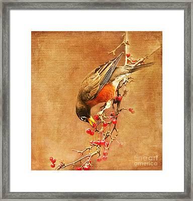 Robin Eating Berries Framed Print
