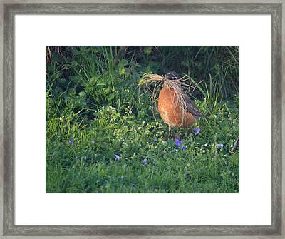 Robin Gathering For Nest Framed Print