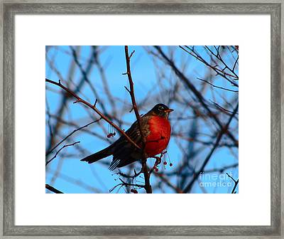 Framed Print featuring the photograph Robin by Gena Weiser