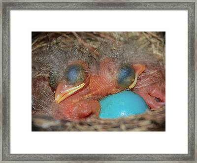 Robin Hatchlings Framed Print