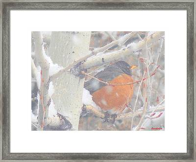 Robin In April Snow Framed Print