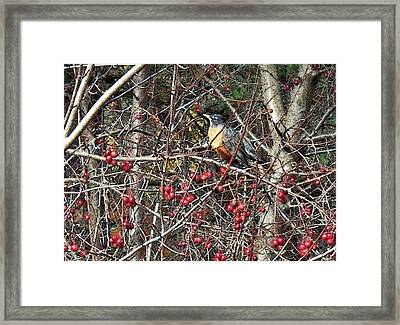 Robin In The Crab Apple Trees Framed Print