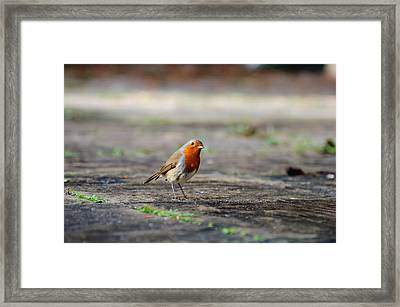 Robin Framed Print by Ivelin Donchev