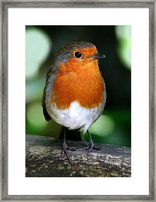 Robin Framed Print by John Topman