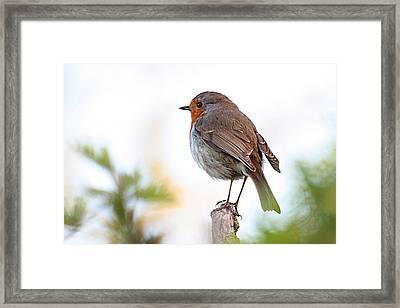 Robin On A Pole Framed Print