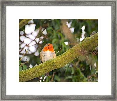 Robin On Branch Framed Print by Dave Woodbridge