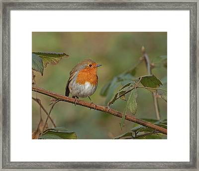 Framed Print featuring the photograph Robin by Paul Scoullar