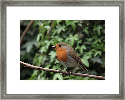Robin Framed Print by Peter Skelton