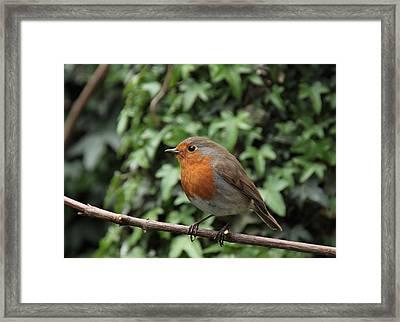 Robin Framed Print by Peter Skelton