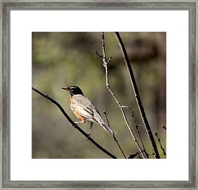 Robin Framed Print by Rosanne Jordan