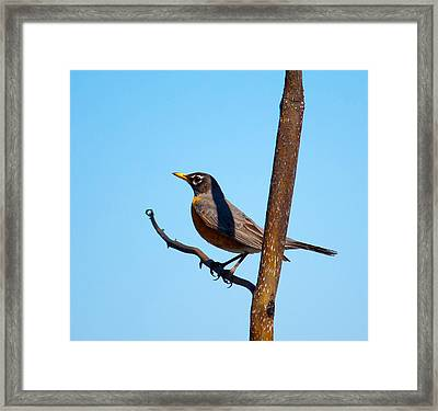 Robin Taking A Break Framed Print