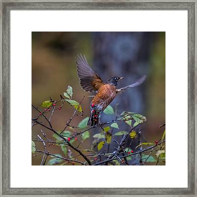 Robin Taking Off Framed Print by Paul Freidlund