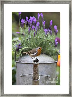 Robin Framed Print by Tim Gainey