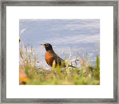 Robin Viewing Surroundings Framed Print by John M Bailey