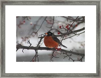 Robin Winter Framed Print by Alicia Knust