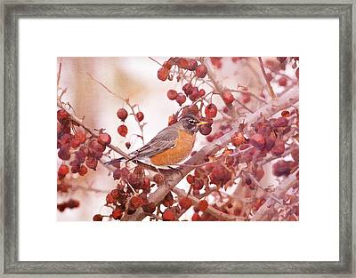 Robin With Red Berries Framed Print by Daphne Sampson