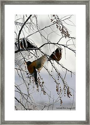 Robins Cold Breakfast Framed Print by Rebecca Adams