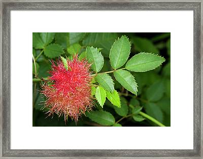 Robin's Pincushion Gall Or Bedeguar Gall Framed Print by Nigel Downer