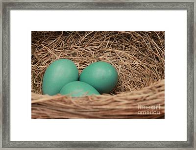 Robins Three Blue Eggs Framed Print