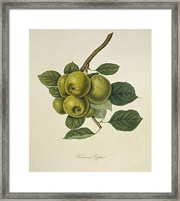 Robinson's Pippin Apple (1818) Framed Print