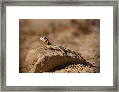 Rock Agama (laudakia Stellio) Framed Print by Photostock-israel