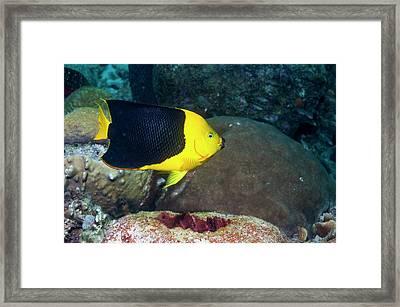 Rock Beauty On A Reef Framed Print by Georgette Douwma