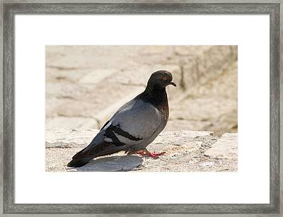 Rock Dove Framed Print by Nigel Downer