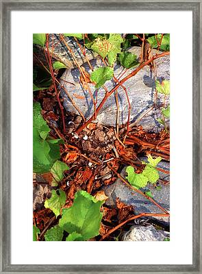 Rock Grape Vine Framed Print