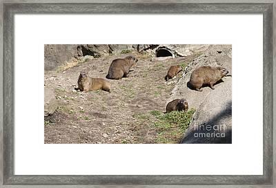 Rock Hyrax At Bronx Zoo Framed Print