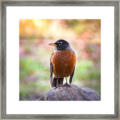 Rock-n-robin Framed Print