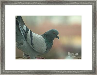 Rock Pigeon Framed Print by Jivko Nakev