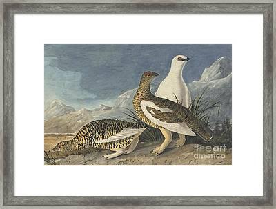 Rock Ptarmigan  Framed Print by Celestial Images