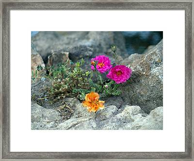 Rock Rose Framed Print by Corina Bishop