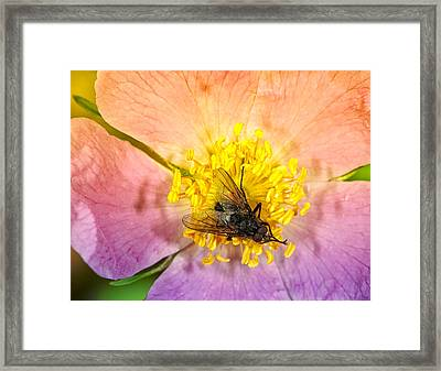 Rock Rose With A Black Fly Framed Print by Paul W Sharpe Aka Wizard of Wonders